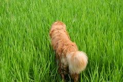Juego lindo del perro en un campo de maíz verde Fotografía de archivo libre de regalías
