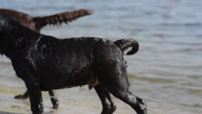 Juego marrón alegre de dos labradors en agua almacen de metraje de vídeo