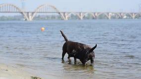 Juego marrón alegre de dos labradors en agua metrajes