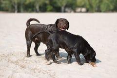 Juego marrón de dos labradors en el sandn Imagen de archivo libre de regalías