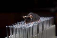 Juego negro del ratón del laboratorio en los tubos Foto de archivo