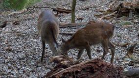 Juego salvaje joven y forraje de 2 ciervos almacen de video