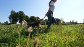 Juego sonriente feliz con el perro del beagle, funcionamiento de la mujer en campo verde almacen de metraje de vídeo