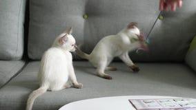 Juego tailandés del gato (viejo-tipo gato siamés) metrajes