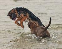 Juego y lucha de dos perritos Fotos de archivo libres de regalías