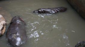 Juego y natación enanos del hipopótamo en piscina en el parque del parque zoológico de Dusit o de Wana del dinar de Khao en Bangk almacen de metraje de vídeo