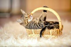Juegos abigarrados del gatito que mienten en la cesta Edad de 2 meses Imagen de archivo libre de regalías