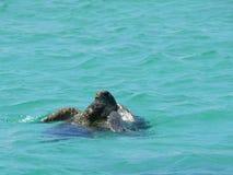 Juegos amorosos entre las tortugas Fotografía de archivo libre de regalías