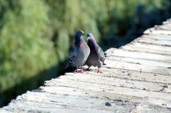 Juegos de amor de palomas en un parapeto Foto de archivo libre de regalías