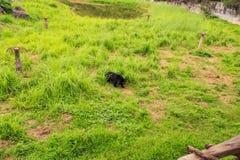Juegos de Cub de oso negro en alta hierba en parque zoológico Fotos de archivo