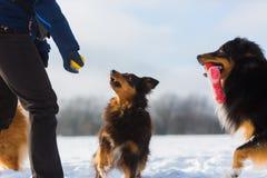 Juegos de la mujer con los perros en la nieve Fotos de archivo