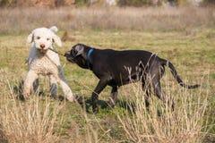 Juegos de los perros con el palillo Imagen de archivo