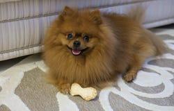 Juegos de Pomeranian con un hueso Imagenes de archivo