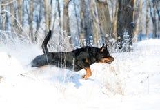 Juegos de Rottweiler en la nieve Imágenes de archivo libres de regalías
