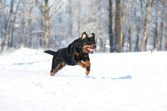 Juegos de Rottweiler en la nieve Imagen de archivo