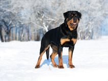 Juegos de Rottweiler en la nieve Fotos de archivo libres de regalías