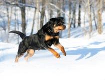 Juegos de Rottweiler en la nieve Imagenes de archivo