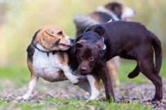 Juegos del beagle con un perrito de Labrador Fotos de archivo