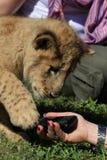 Juegos del cachorro de león con el teléfono móvil de los turistas Imagen de archivo libre de regalías