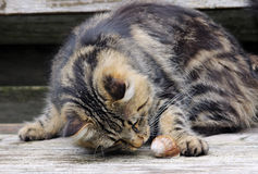 Juegos del gato Imagen de archivo
