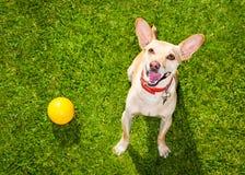 Juegos del perro con el dueño que mira para arriba foto de archivo libre de regalías