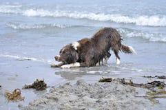 Juegos del perro en agua Foto de archivo