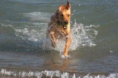 Juegos del perro perdiguero de oro en agua Fotografía de archivo