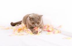 Juegos hermosos del gato Fotos de archivo