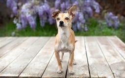 Juegue el perro de la chihuahua de la raza en los tableros de madera delante de la glicinia púrpura Foto de archivo