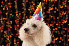 Juerguista del perro que celebra cumpleaños Fotografía de archivo libre de regalías