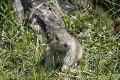 Juevenile pika (Ochotona princeps) chews on grass royalty free stock image