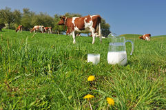 Jug of milk against herd of cows Stock Image