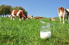 Milk against herd of cows. Emmental region, Switzerland Royalty Free Stock Photo