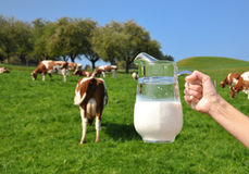 Jug of milk against herd of cows Royalty Free Stock Photography