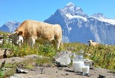 Jug of milk against herd of cows Royalty Free Stock Photos