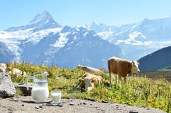 Jug of milk against herd of cows Stock Photography