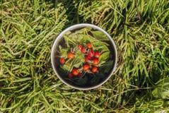 Jugador de bolos con las hojas de menta elaboradas cerveza y las bayas color de rosa salvajes imagen de archivo libre de regalías
