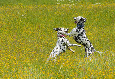 Jugar a Dalmatians foto de archivo libre de regalías