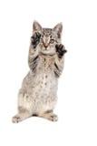 Jugar el gatito Imagen de archivo