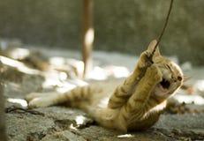 Jugar el gato Imágenes de archivo libres de regalías