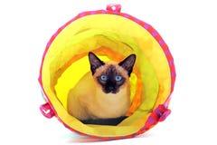 Jugar el gato siamés Imágenes de archivo libres de regalías