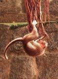 Jugar el mono Fotos de archivo libres de regalías
