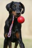 Jugar el perrito del Doberman Fotografía de archivo libre de regalías