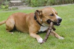 Jugar el perro Imagen de archivo