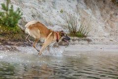 Jugar el perro Imagen de archivo libre de regalías