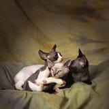Jugar gatitos del rex de Devon Fotografía de archivo libre de regalías