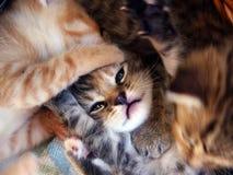 Jugar gatitos en cesta Fotos de archivo libres de regalías