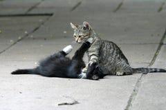 Jugar gatos Foto de archivo