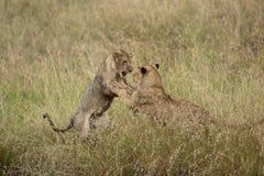 Jugar leones Imágenes de archivo libres de regalías
