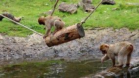 Jugar los Macaques jovenes de Barbary